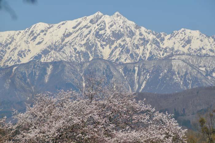 立屋の桜と鹿島槍