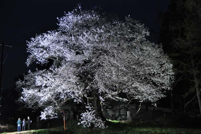 立屋の桜ライトアップ